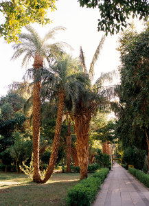 Aswan,_Kitchener's_Island,_palm_trees,_Egypt,_Oct_2004